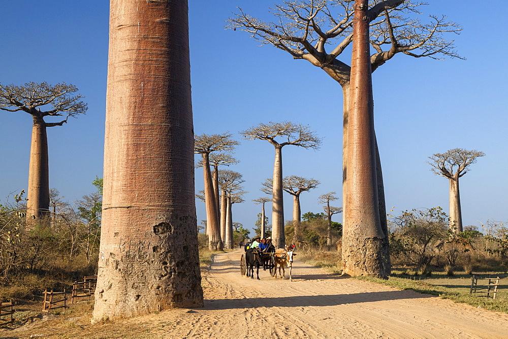 Oxcart in a Baobab alley near Morondava, Adansonia grandidieri, Madagascar, Africa
