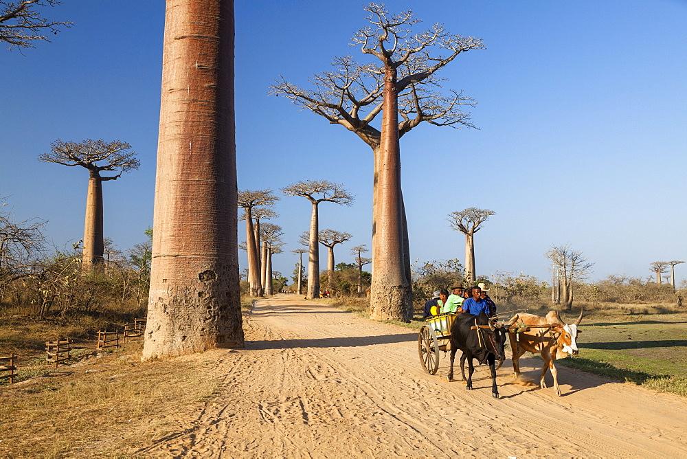 Oxcart in Baobab alley near Morondava, Adansonia grandidieri, Madagascar, Africa