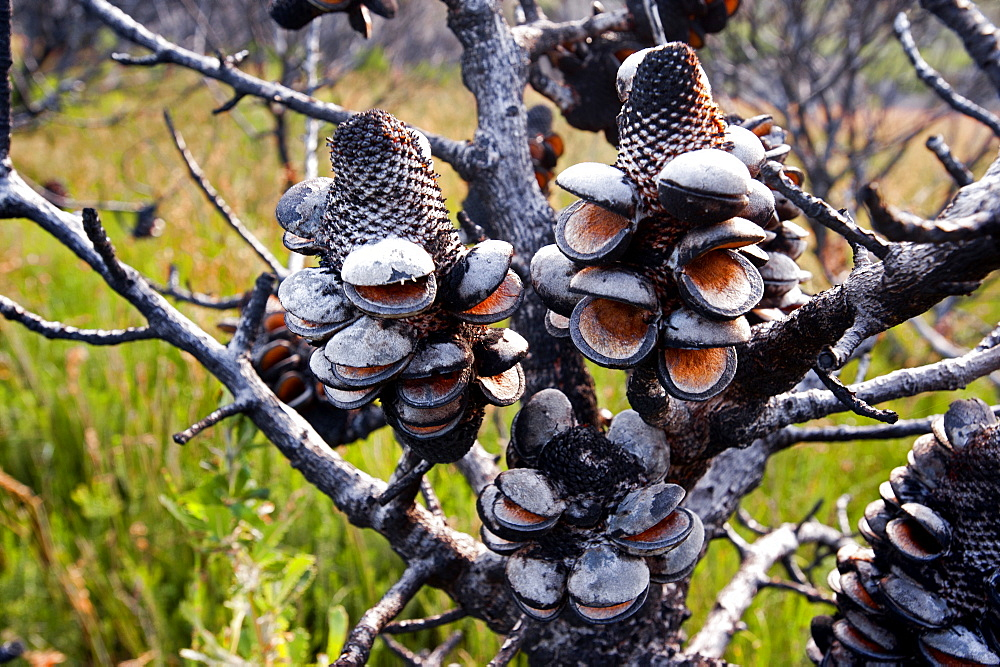 Banksi bush after a bush fire, Croajingolong National Park, Victoria, Australia
