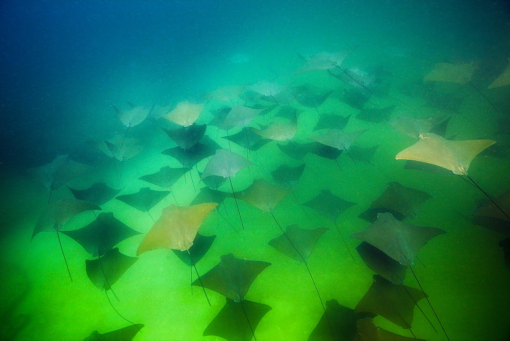 School of Pacific Cownose Ray, Rhinoptera steindachneri, Cabo Pulmo Marine National Park, Baja California Sur, Mexico