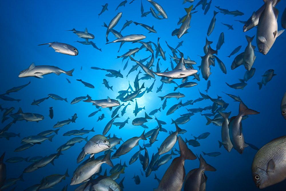 Shoal of Blue-bronze Sea Chub, Kyphosus analogus, San Benedicto, Revillagigedo Islands, Mexico