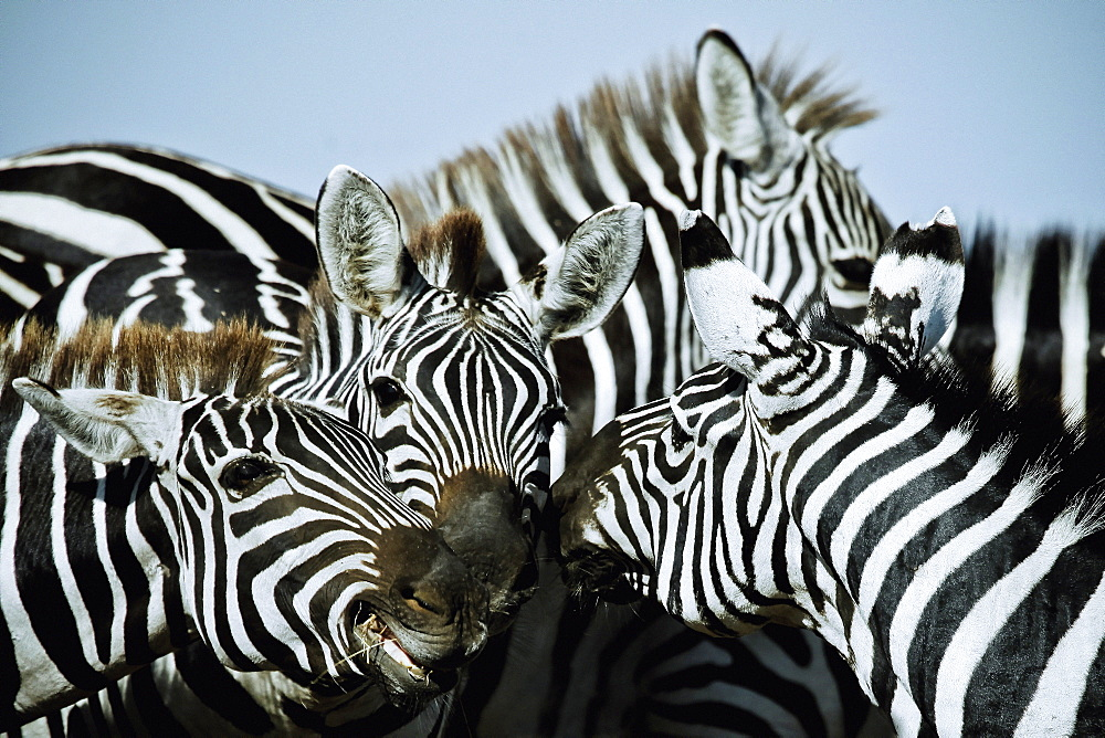 Zebras in East Africa, Africa