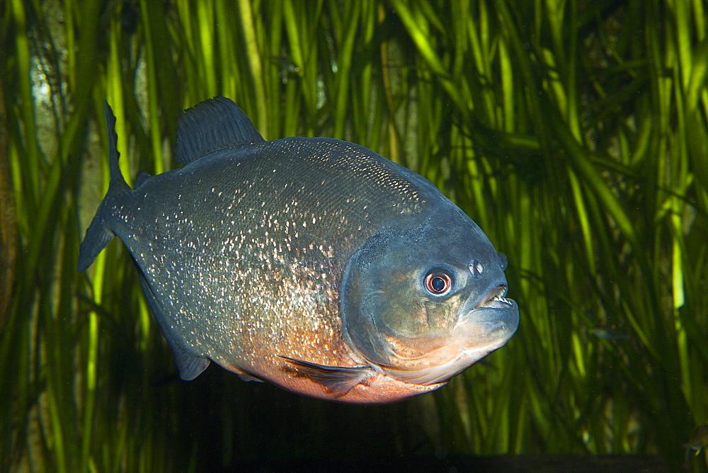 Red-bellied Piranha, Piranha vermelha, Brazil