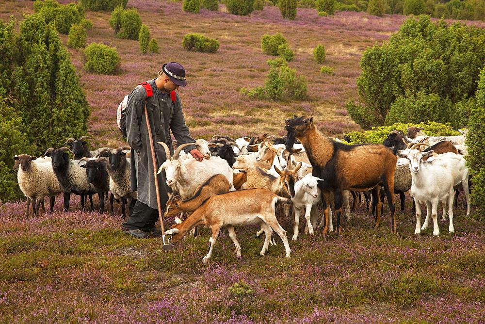 Shepherd in the Lueneburger heath, Lueneburger Heide, Lower Saxony, Germany