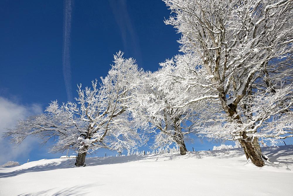 Snow covered beech trees, Schauinsland, near Freiburg im Breisgau, Black Forest, Baden-Wuerttemberg, Germany