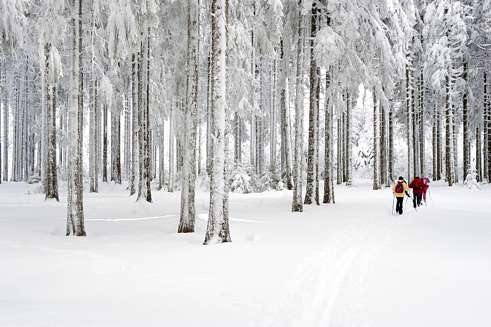 Cross-country skier near Hinterzarten, Black Forest, Baden-Wuerttemberg, Germany