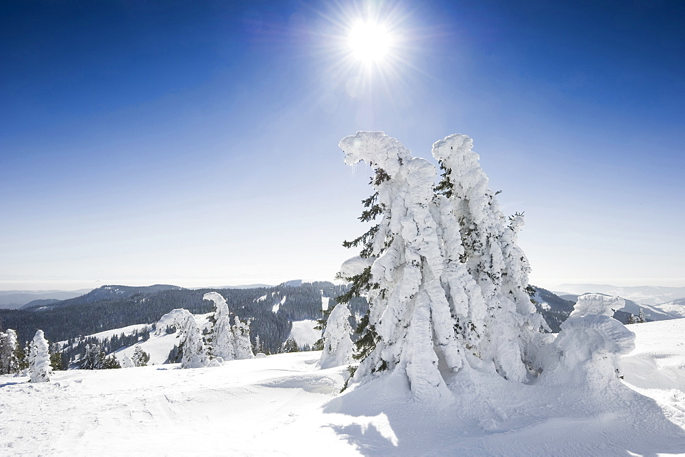 Snow covered fir trees, Feldberg, Black Forest, Baden-Wuerttemberg, Germany