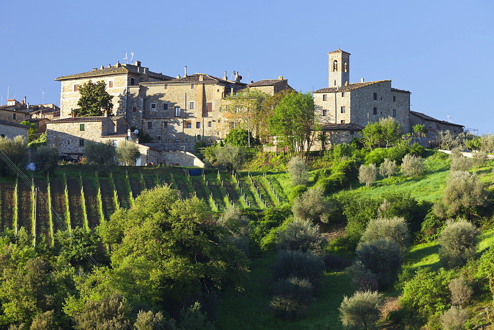 Olive Trees with vineyards and houses, Castelnuovo Dellabate, Tuscany, Italy