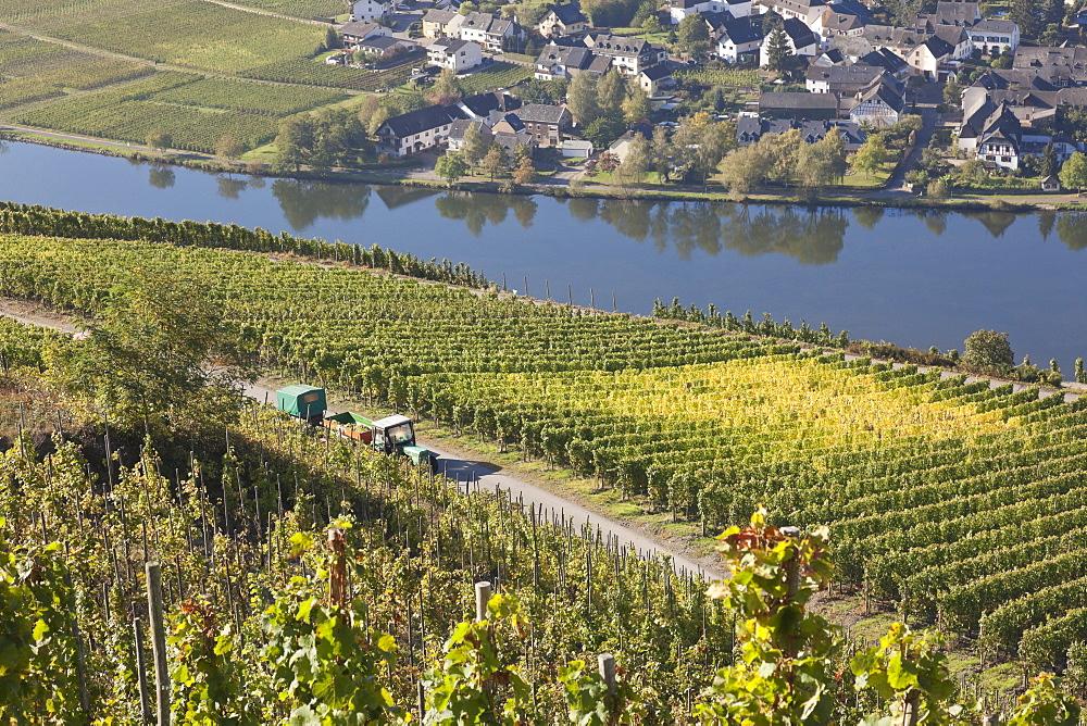 Vineyards near Piesport, Piesport, Rheinland-Pfalz, Germany