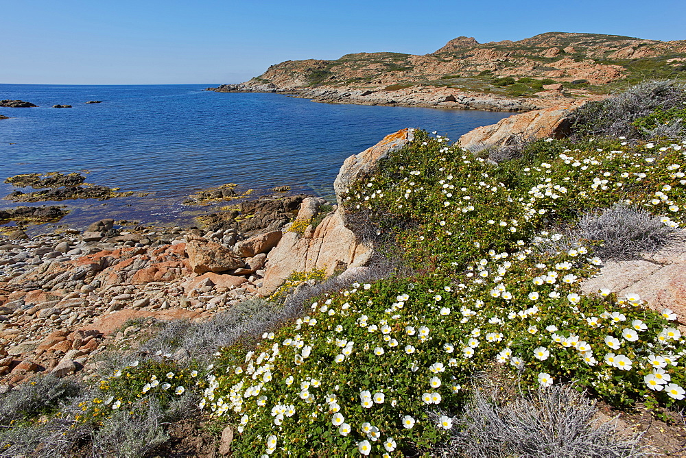 Flowers along the Mediterranean coast, Desert des Agriates, Corsica, France
