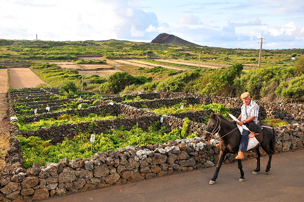Farmer on horseback passing vinefieldsn In the north of the Island of Graciosa, Azores, Portugal