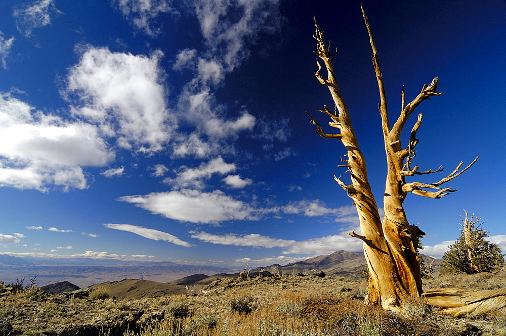 Bristlecone Pines at the White Mountains under clouded sky, California, North America, America