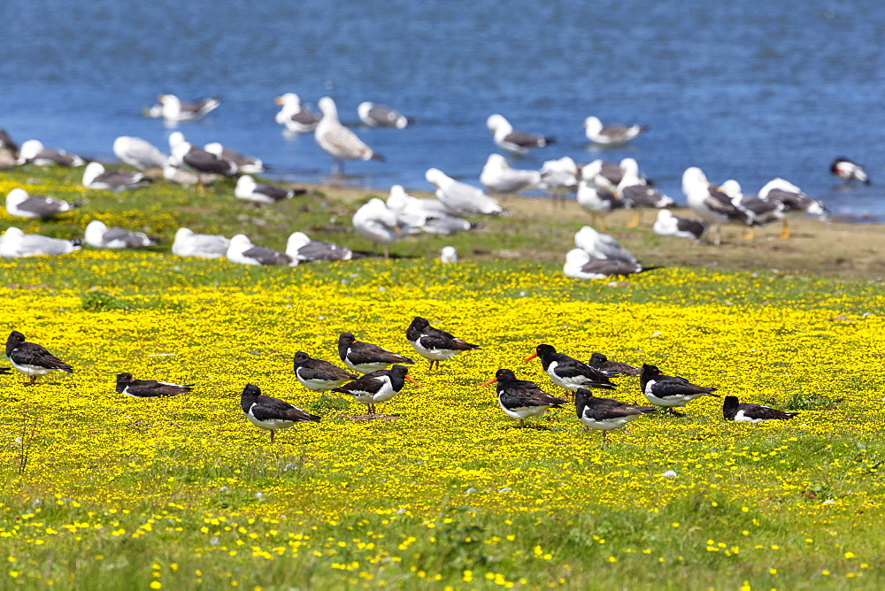Oystercatchers, Haematopus ostralegus and Herring Gulls, Larus argentatus at lake Schloppsee, Langeoog Island, National Park, Unesco World Heritage Site, North Sea, East Frisian Islands, East Frisia, Lower Saxony, Germany, Europe - 1113-99870