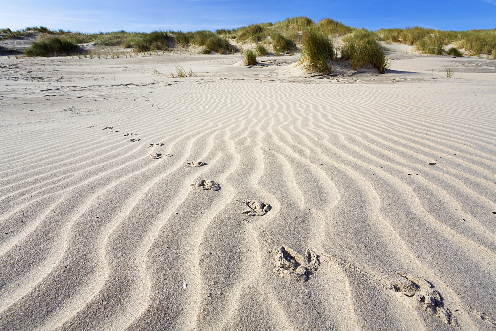 Bbird tracks in the sand, dunes, Juist Island, North Sea, East Frisian Islands, East Frisia, Lower Saxony, Germany, Europe