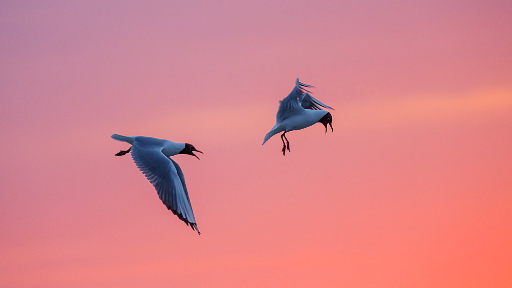 Black-headed Gulls at sunset, Larus ridibundus, Nationalpark, North Sea, East Frisian Islands, East Frisia, Lower Saxony, Germany, Europe