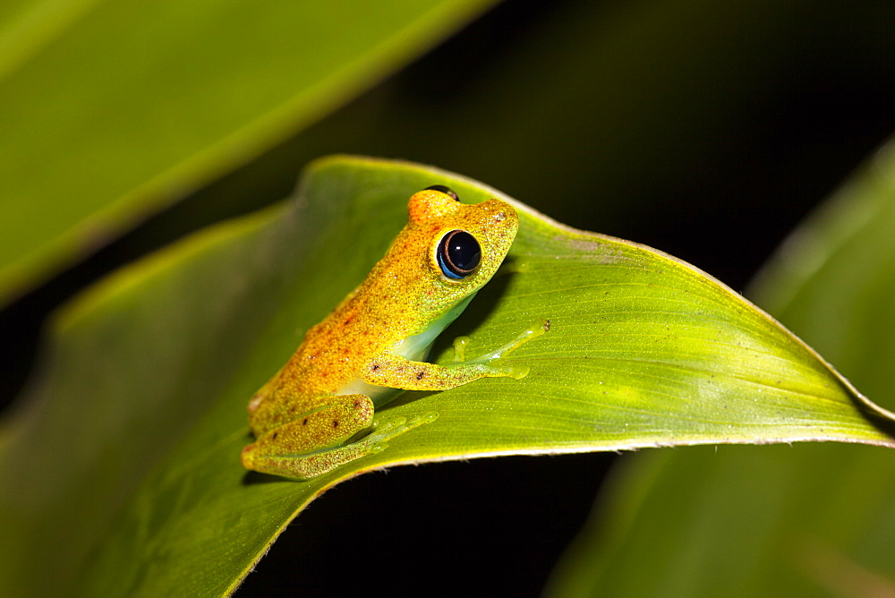 Green bright-eyed frog in the rainforest of Madagascar, Boophis viridis, Andasibe Mantadia National Park, East Madagascar, Madagascar, Africa