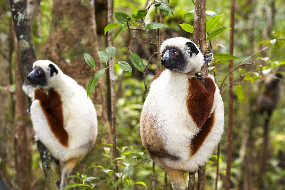 Coquerel Sifakas, Propithecus coquereli, Ampijoroa Reserve, Madagascar, Africa