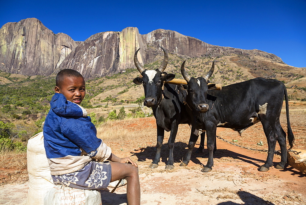 Boy with Zebus in front of the Tsaranoro Massif, highlands, South Madagascar, Africa