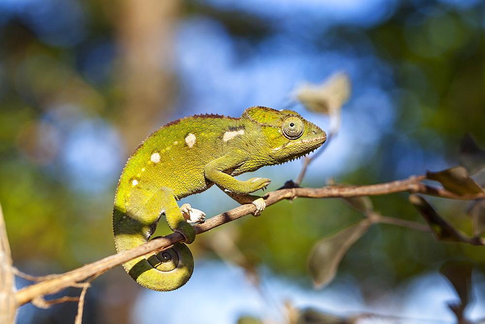 Warty chameleon, Furcifer verrucosus, Isalo National Park, Madagascar, Africa
