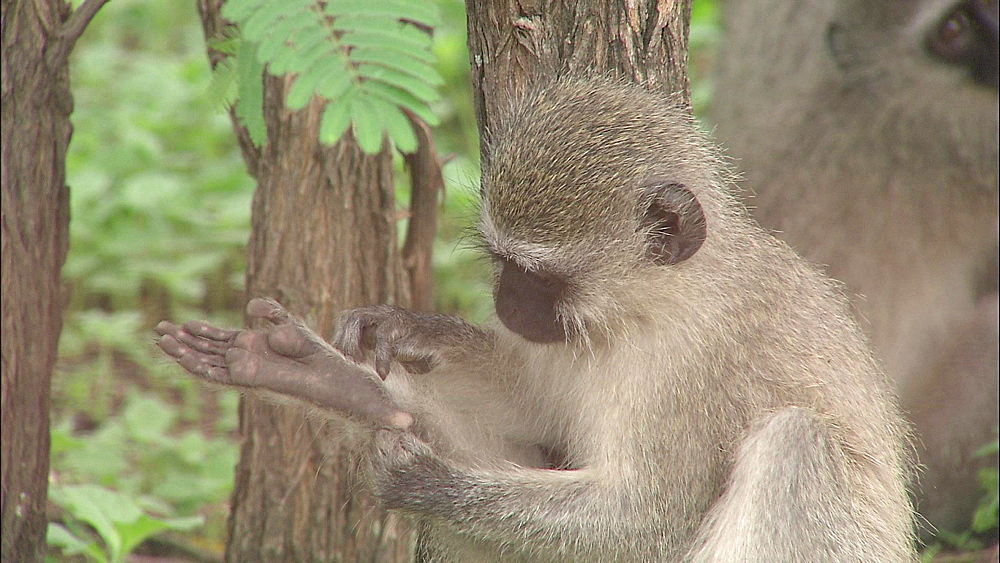 Vervet monkey grooming its right foot with mouth and hands, Vervet Monkey Foundation, Tzaneen, South Africa