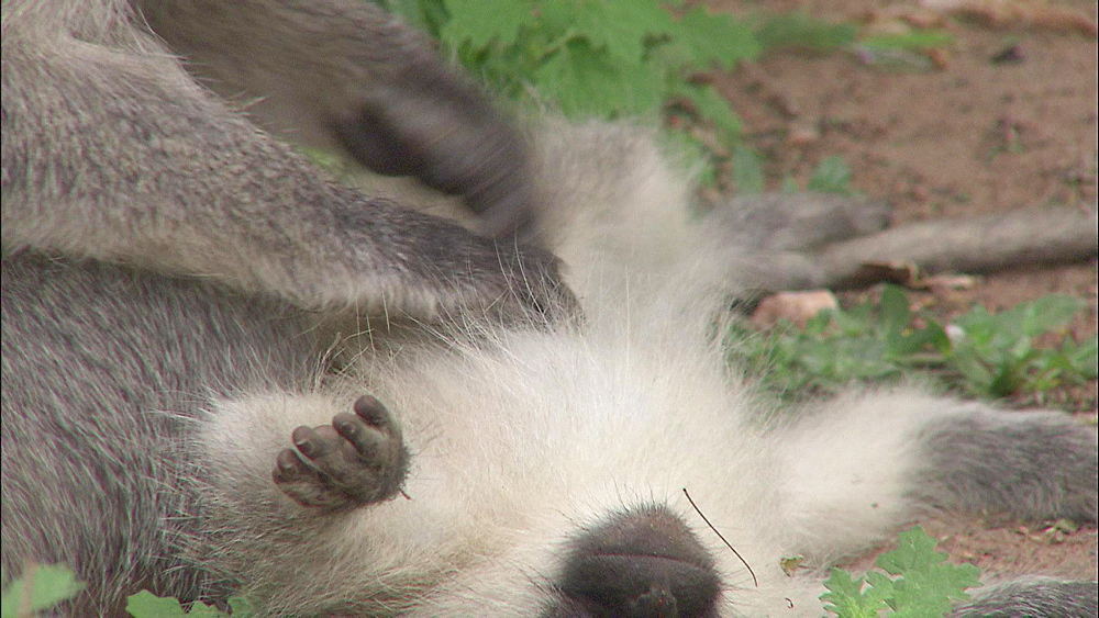 Vervet Monkeys laying on back being groomed by other monkey, Vervet Monkey Foundation, Tzaneen, South Africa