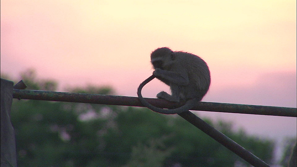 Vervet Monkey sitting on pole playing with own tail with trees and sky behind, Vervet Monkey Foundation, Tzaneen, South Africa