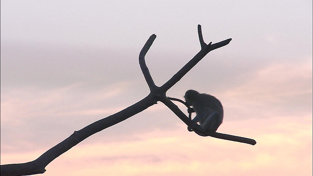 Vervet Monkey sitting on branch playing with own tail, Vervet Monkey Foundation, Tzaneen, South Africa