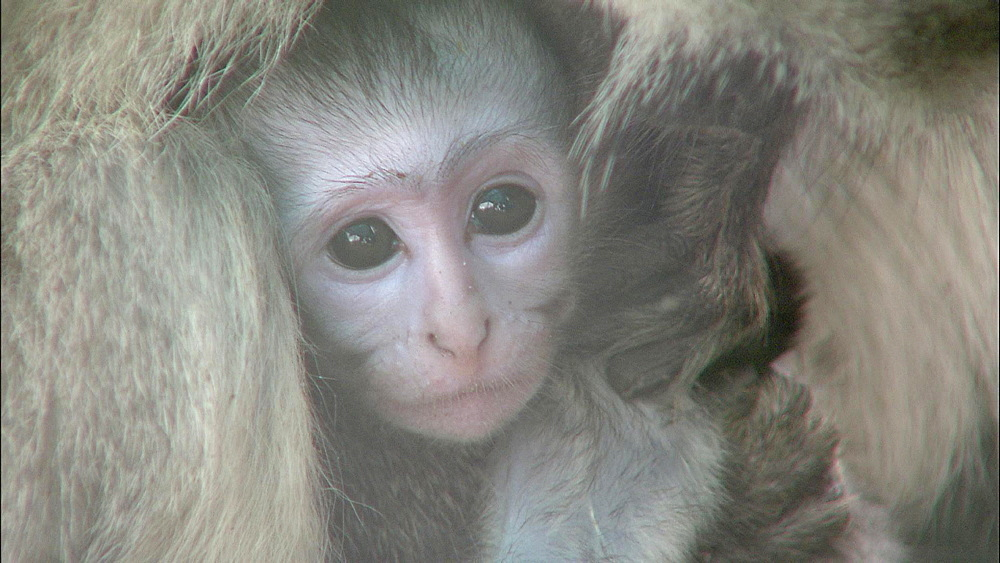 Close up of baby Vervet Monkey looking into camera in mother's body , Vervet Monkey Foundation, Tzaneen, South Africa