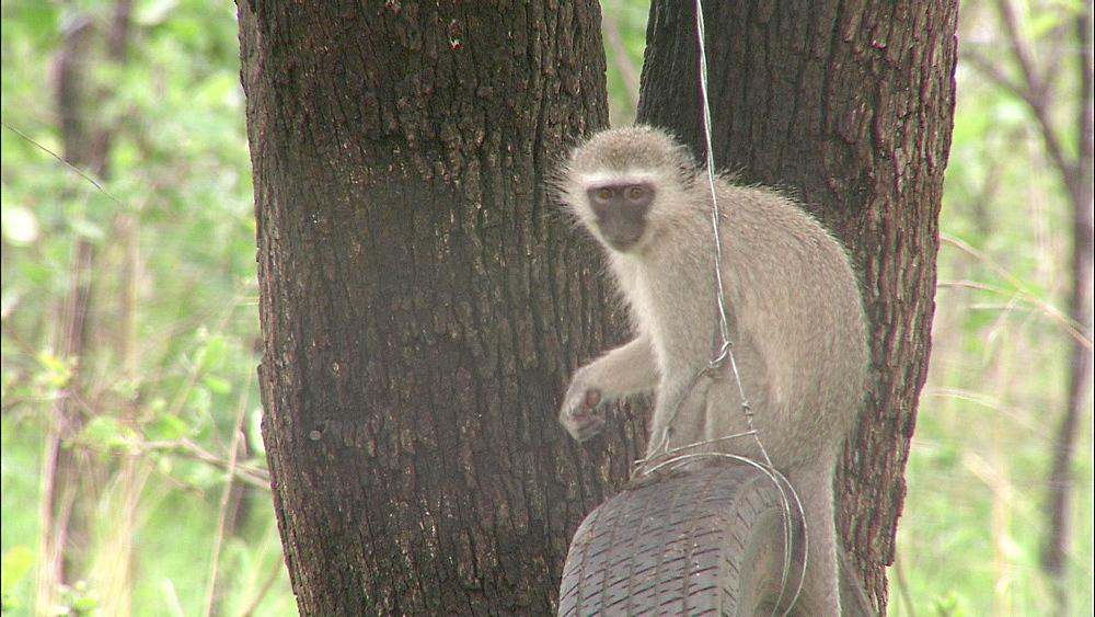 Vervet Monkey sitting on swinging car tyre hanging from tree, Vervet Monkey Foundation, Tzaneen, South Africa