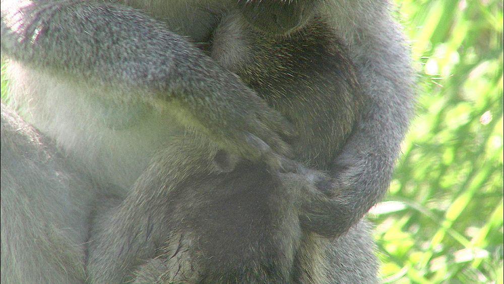 Adult female Vervet Monkey grooming  baby Vervet Monkey, Vervet Monkey Foundation, Tzaneen, South Africa