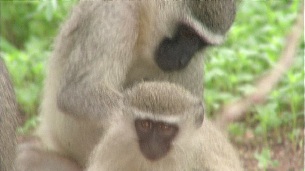 Baby Vervet monkey being groomed by larger Vervet monkey, Vervet Monkey Foundation, Tzaneen, South Africa