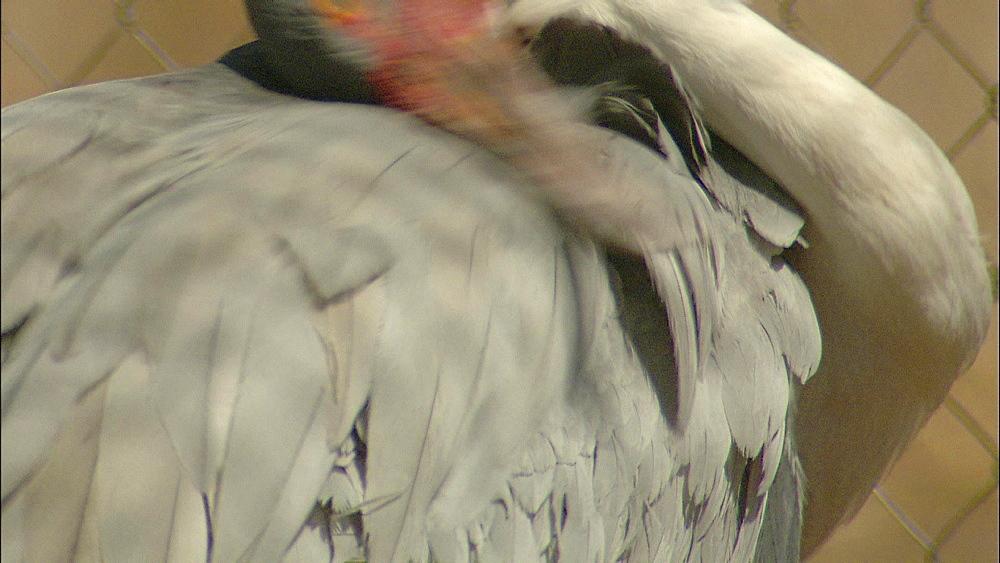 Wattled Crane grooming itself, Johannesburg Zoo, South Africa