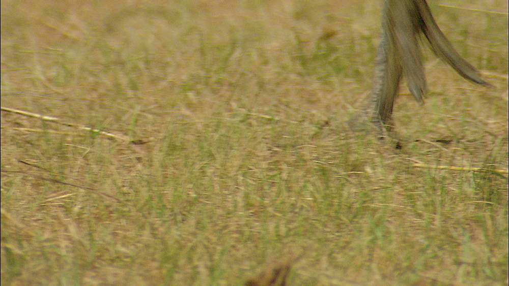 Close up of legs and feet of Wattled Crane walking through field, Johannesburg Zoo, South Africa