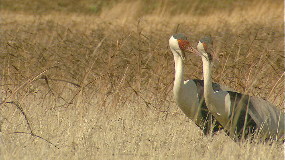 Two Wattled Cranes standing in long grass grooming and looking around, Howick, KwaZulu-Natal Province, South Africa