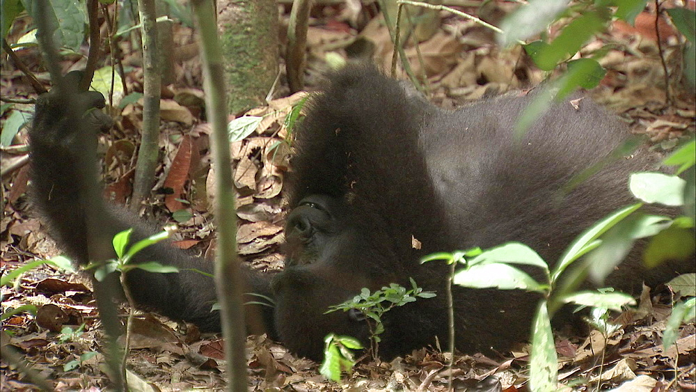 Western LowlandGorillas play fighting on forest floo and getting up, Dzangha-Sangha National Park, Central African Republic