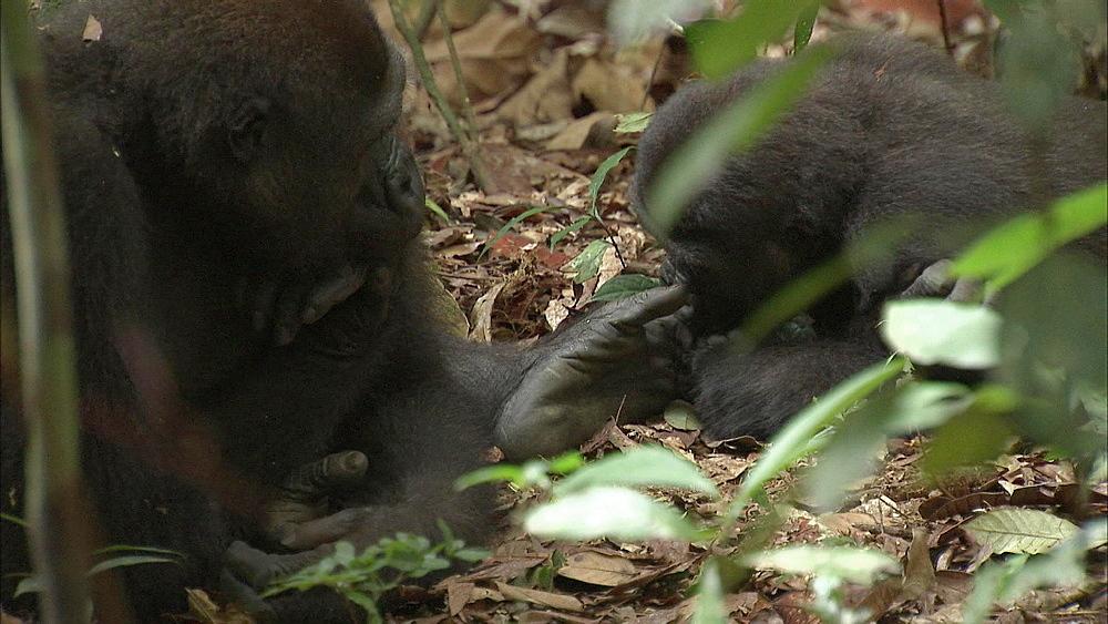 Baby Western Lowland, Dzangha-Sangha National Park, Central African Republic