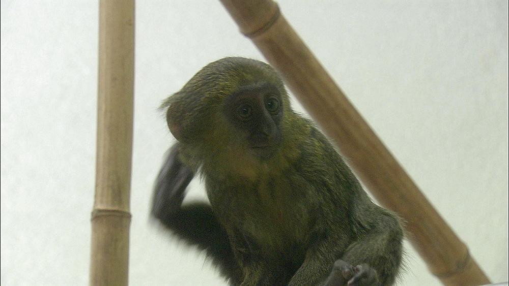 Baby Hamlyn Monkey climbing and grooming itself, Mulhouse Zoo, France