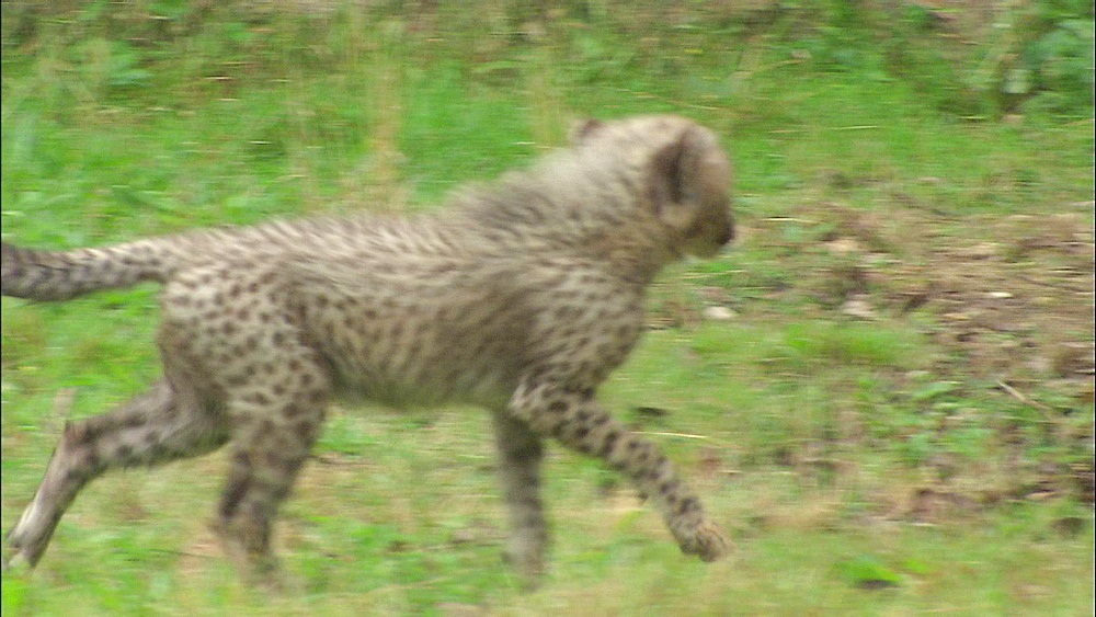 Two Cheetah cubs play fighting, Safari de Peaugres, France