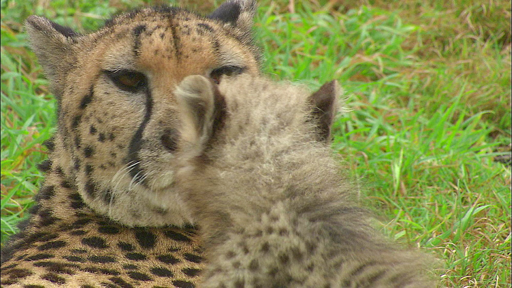 Adult Cheetah laying on ground grooming Cheetah cub, Safari de Peaugres, France