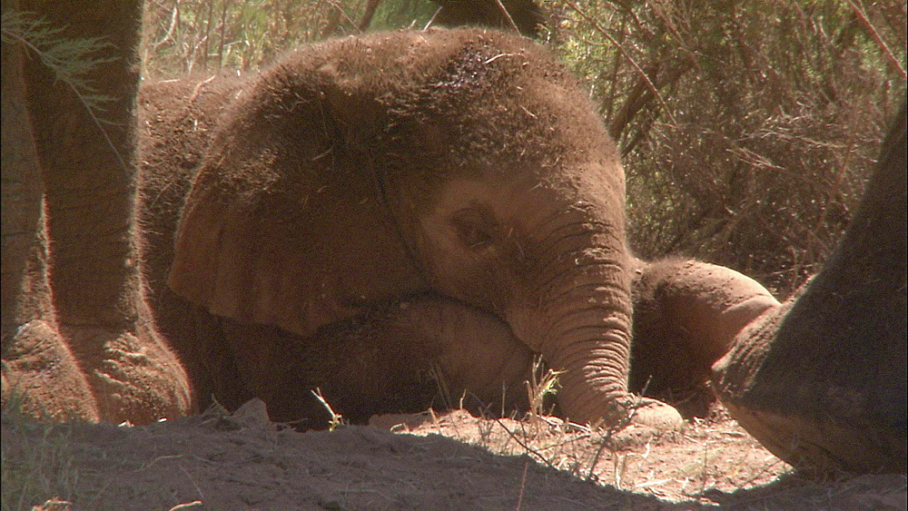 African bush elephant calf sleeping on ground with feet and trunk of mother, South Africa