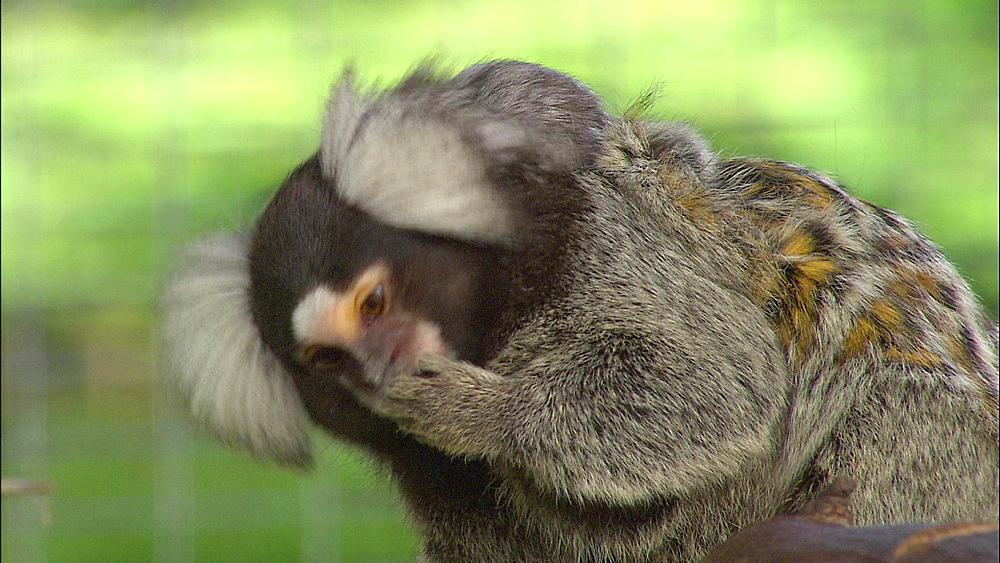 Common Marmoset Monkey licking paw, Howletts Wild Animal Park, Kent, UK