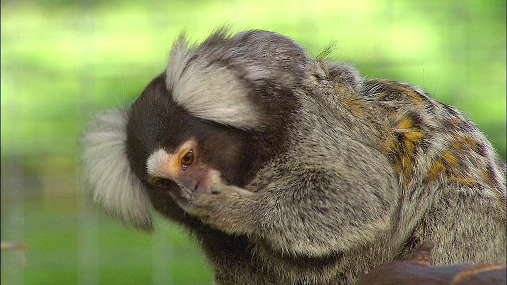 Common Marmoset Monkey licking paw with baby on back, Howletts Wild Animal Park, Kent, UK
