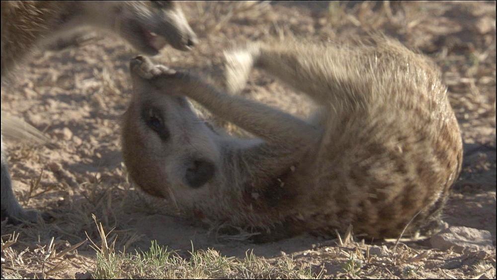 Several Meerkats playing on floor, Kalahari Desert, South Africa