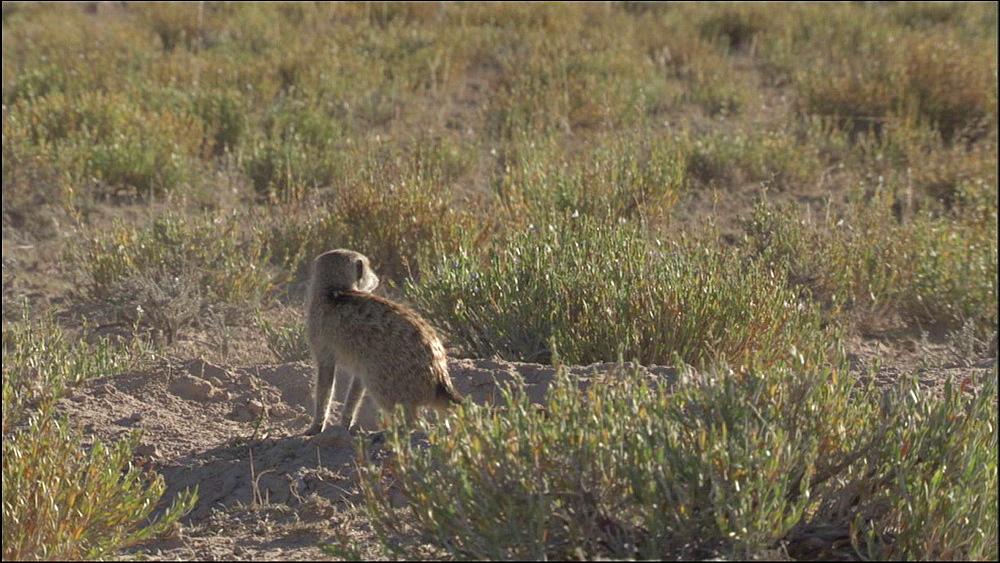 Two Meerkats fight playing, Kalahari Desert, South Africa
