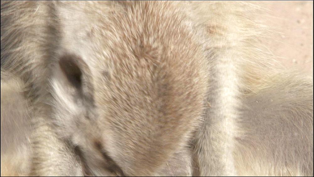 Close up of sitting Meerkat grooming itself, Kalahari Desert, South Africa