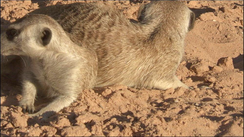 Two Meerkats trying to catch a Scorpion, Kalahari Desert, South Africa