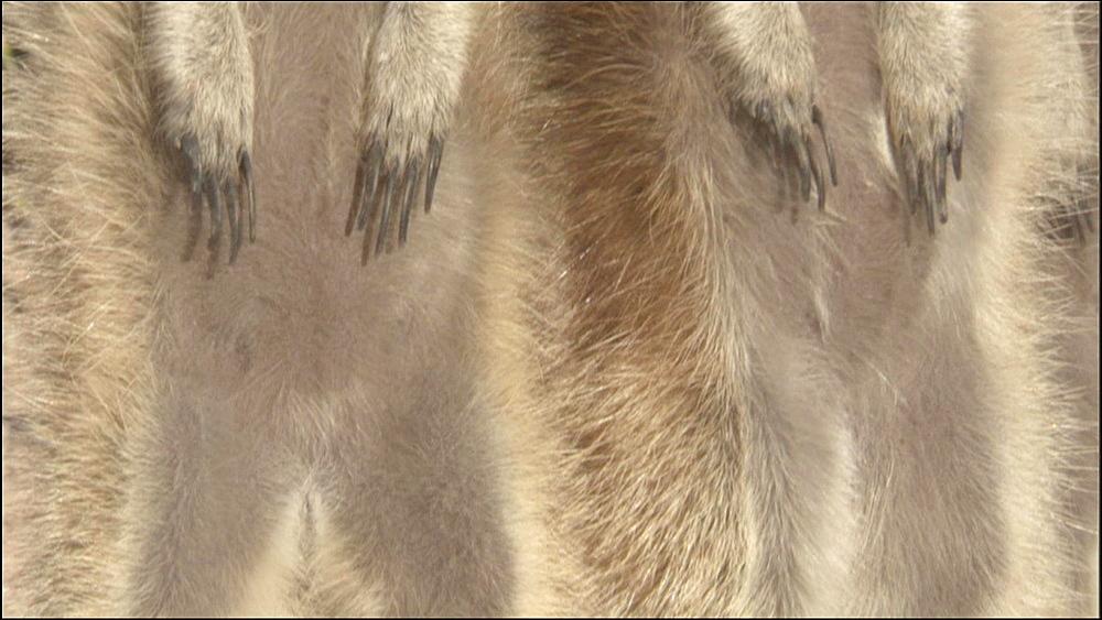 Two full length standing Meerkats pan up, Kalahari Desert, South Africa - 1114-838