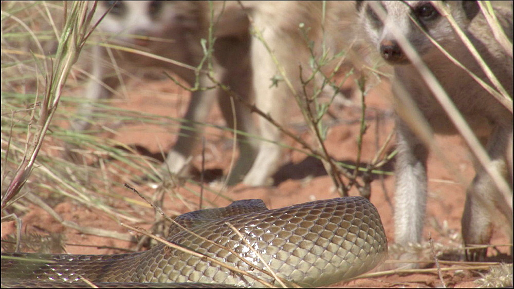 Mole snake fighting Meerkats, Kalahari Desert, South Africa