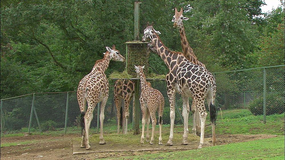 Group of Rothschild Giraffes eating hay, Safari de Peaugres, France