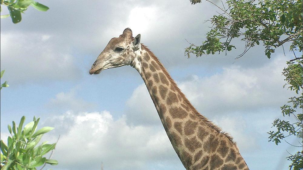 Rothschild Giraffes chewing hay, Safari de Peaugres, France